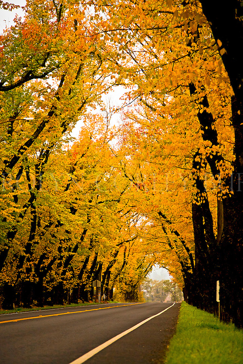 Tunnel of Elms, tree tunnel, Saint Helena, Napa Valley, Autumn, Fall, Fall colors, Elm trees