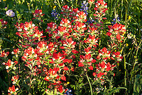 Indian Paintbrush ( Castilleja indivisa), DeWitt County, Texas
