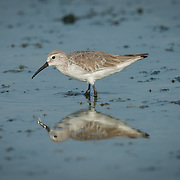 The curlew sandpiper (Calidris ferruginea) is a small wader that breeds on the tundra of Arctic Siberia.