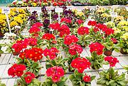 Display of bright polyanthus plants Ladybird Nurseries garden centre, Gromford, Suffolk, England, UK - Polyanthus Stella Strawberry Fields