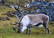 A Svalbard Reindeer fattening up for winter.