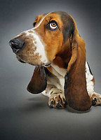 Basset hound close-up