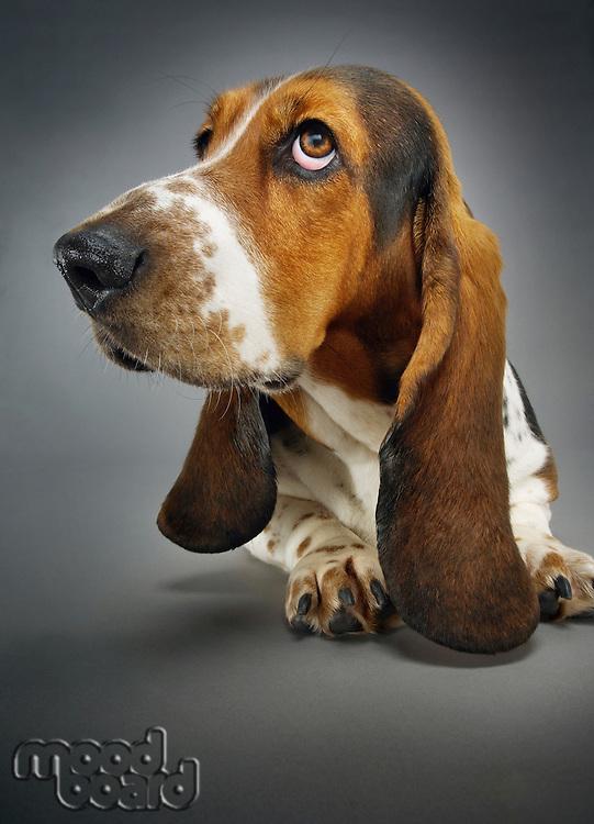 Basset hound close-up