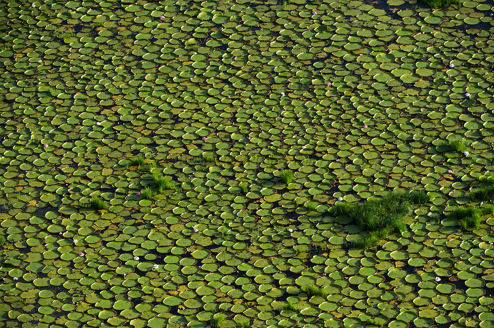 Giant Water Lily (Victoria amazonica)<br /> Savanna <br /> Rurununi<br /> GUYANA<br /> South America