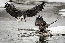 An adult bald eagle (Haliaeetus leucocephalus) attacks an immature (juvenile) bald eagle feeding on a salmon carcass on the banks of the Chilkat River in the Alaska Chilkat Bald Eagle Preserve. It takes four to five years for a bald eagle to develop the distinctive white head, tail and yellow beak. During late fall, bald eagles congregate along the Chilkat River to feed on salmon. This gathering of bald eagles in the Alaska Chilkat Bald Eagle Preserve is believed to be one of the largest gatherings of bald eagles in the world.