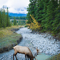 bull elk in river bottom drinking water