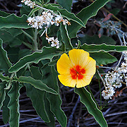 Mexican Gold Poppy, Eschscholtzia mexicana, grows wild in the Sonoran Desert of southern Arizona