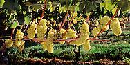 Duck Walk Vineyards, Cutchogue, grapes backlit, New York