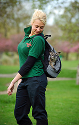 © Licensed to London News Pictures. 30/03/2011 London, UK. Whipsnade Zoo keeper Jo Shirley with Bennett's Wallaby, Tilly who is being hand reared by keepers after being found out of her mothers pouch. The seven month old is being carried around in a substitute mothers pouch made from a rucksack. She will later join the zoo's 300 other wallabies and have access to the park's 600 acres..Photo credit : Simon Jacobs/LNP
