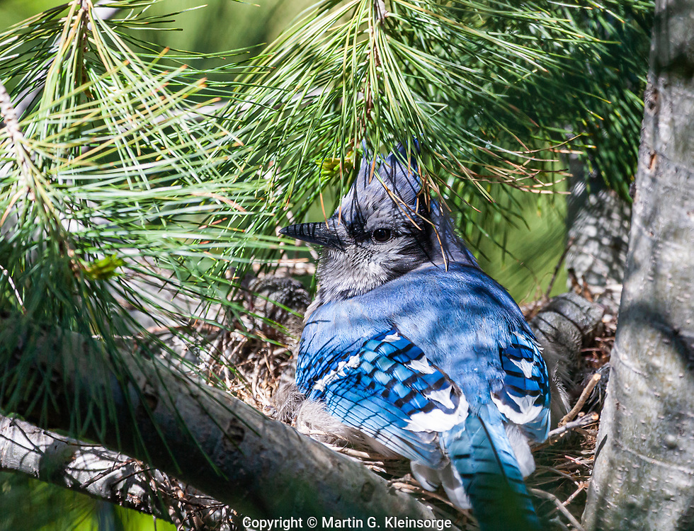 Mother Blue Jay (Cyanocitta cristata) on her nest in a pine tree.