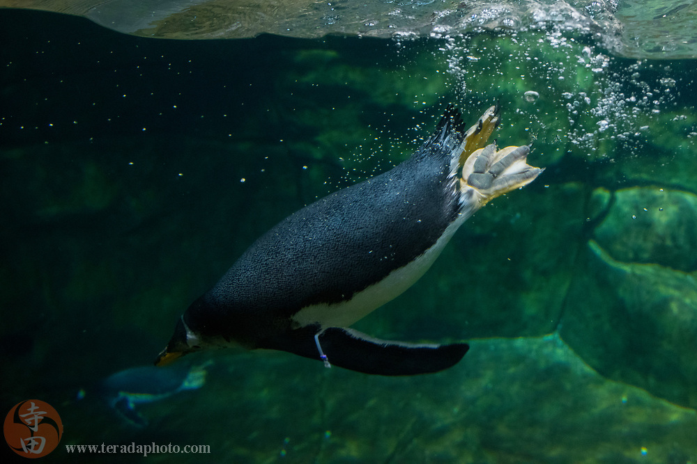 March 24, 2018; Omaha, NE, USA; A Gentoo Penguin in the Suzanne and Walter Scott Aquarium at Omaha's Henry Doorly Zoo and Aquarium.