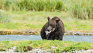 Brown bear (Ursus arctos) with salmon in Geographic Creek  at Geographic Harbor in Katmai National Park in Southwestern Alaska. Summer. Afternoon.