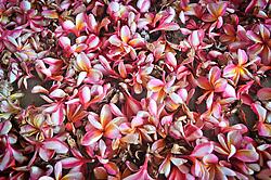 Flower petals in Khanh Hoa province, Vietnam, Southeast Asia