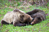 Mother grizzly with cub in the BC Rocky Mountains