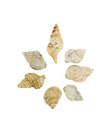 Seven whelk shells in a circle on a white background. Nucella lapillus (Dog Whelk) and Buccinum undatum (Waved Whelk), Maine.
