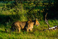 A lioness walking through deep grass, near Kwara Camp, Okavango Delta, Botswana.