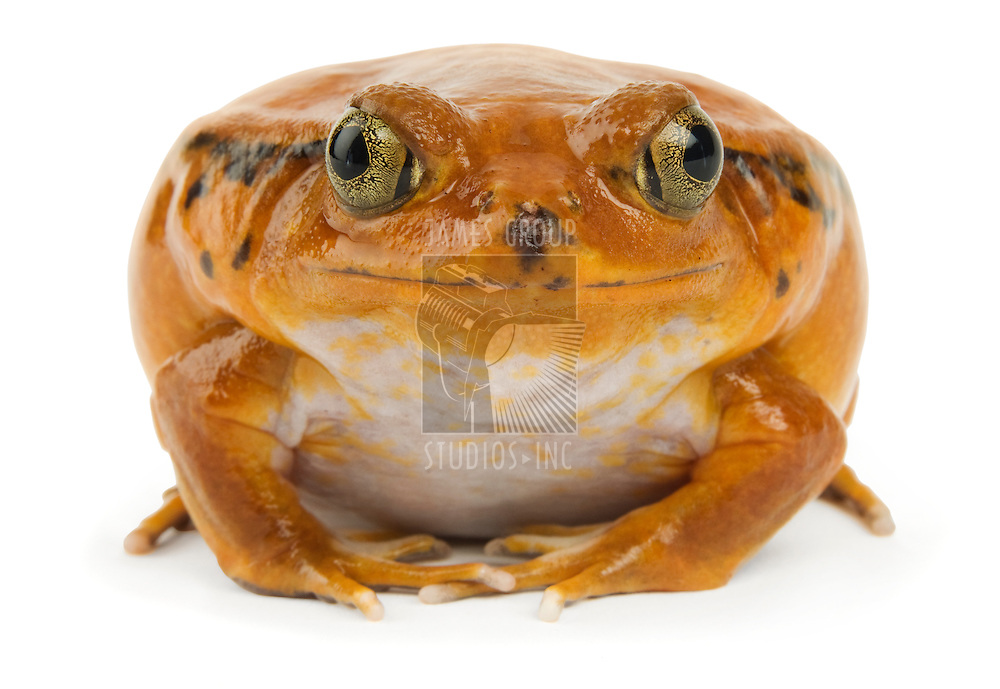 Orange frog facing the camera on a white background