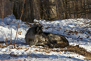 A black wolf bedded in the snow in wooded habitat.