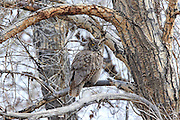 Great Horned Owl in Riparian Habitat