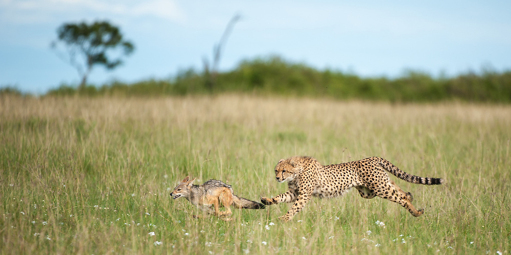 Cheetah (Acinonyx jubatus) chasing a black-backed jackal (Canis mesomelas)