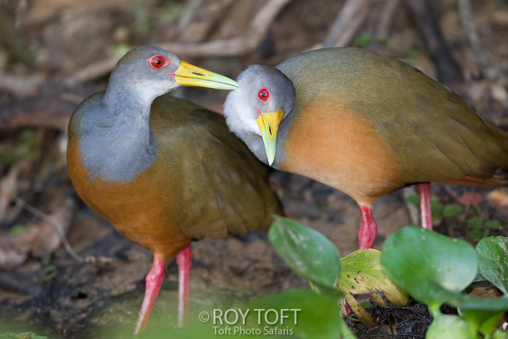 Pair of Grey-necked Wood-Rail (Aramides cajanea), Pantanal, Brazil