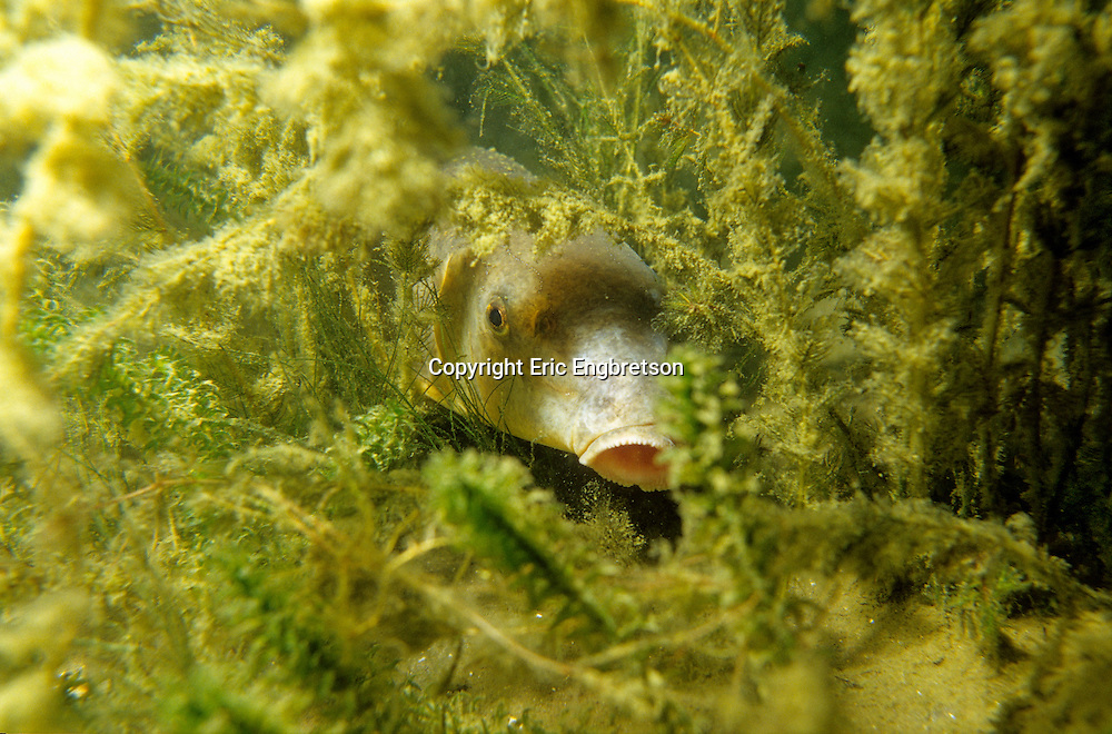 White Sucker Under Cover<br />