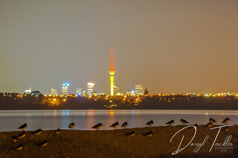 Oyster catchers  roosting at night under the glow of Auckland city lights. Pollen Island.