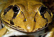 water holding frog closeup, undara national park, north queensland