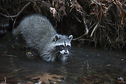 Raccoon <br /> Procyon lotor<br /> Four-month-old orphaned babies at release<br /> WildCare, San Rafael, CA