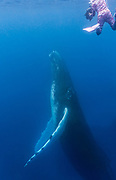 An underwater photographer snorkels close to a rising adult humpback whale in the clear blue water of the Silver Bank, Dominican Republic