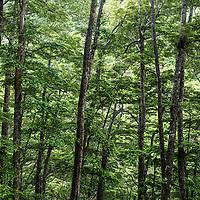 Beech Forest, Southland