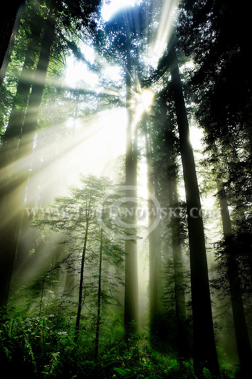 Young redwoods is blanketed by sunrays that break through the seaside mist in California's Redwood Forest.  Photo By:  Jeff Janowski Photography
