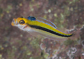 Forsterygion maryannae (Oblique-swimming triplefin)