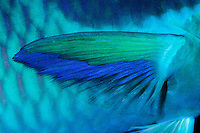 Globehead parrotfish fin (Scarus globiceps), Tahiti / Nageoire d'un poisson-perroquet masqué (Scarus globiceps), Tahiti