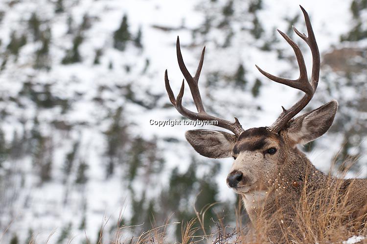 muledeer buck snow rocky mountains background