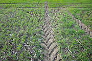 tractor tracks in a sprouting winter wheat field France