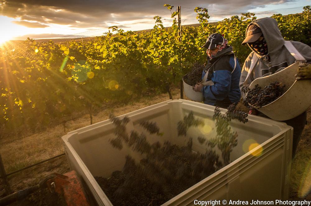 Doubleback cabernet sauvignon harvest, Bob Healy Vineyard, Walla Walla