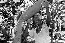 BANGLADESH DINAJPUR DISTRICT KAHAROL THANA OCT94 - A Hindu farmer dries rice near his field in rural Dinajpur...jre/Photo by Jiri Rezac..© Jiri Rezac 1994