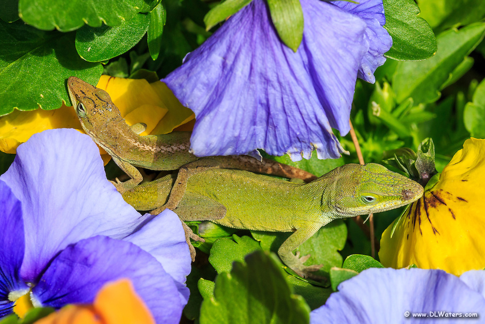 Green anole and pansies at the Elizabethan Gardens on Roanoke Island.