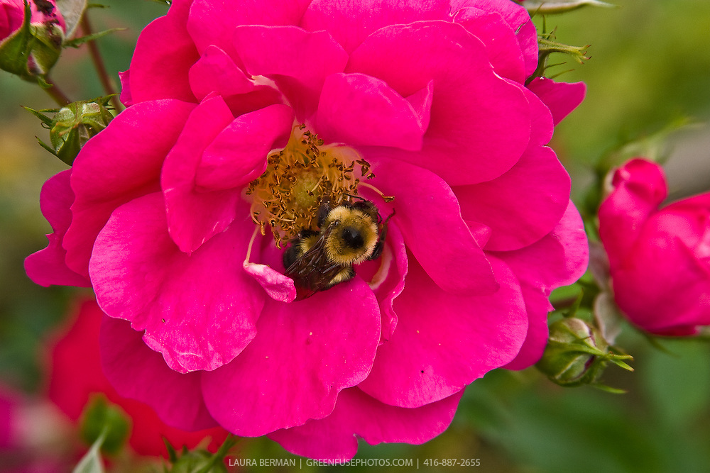A large Bumblebee (Bombus) feeds on a rose..