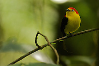 Wire-tailed Manakin (Pipra filicauda).Male on his calling perch..Tiputini Biodiversity Station, Amazon Rain Forest, Ecuador.