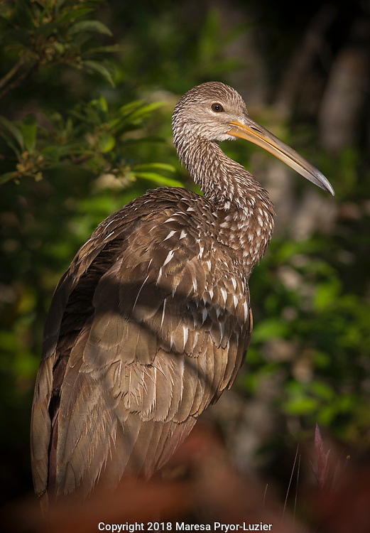 Limpkin preening on tree limb<br /> Aramus guarauna<br /> Alexander Springs Creek, Ocala National Forest<br /> Maresa Pryor