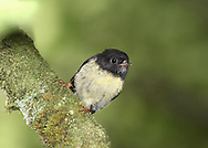 Tomtit - Petroica macrocephala