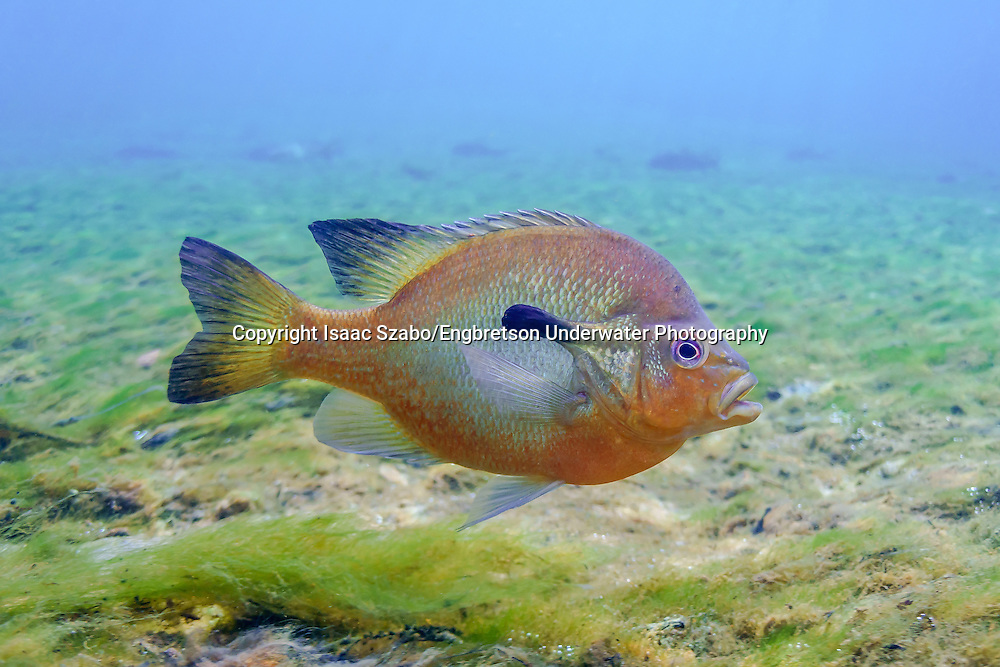 Redbreast Sunfish<br />