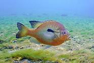 Redbreast Sunfish, Underwater