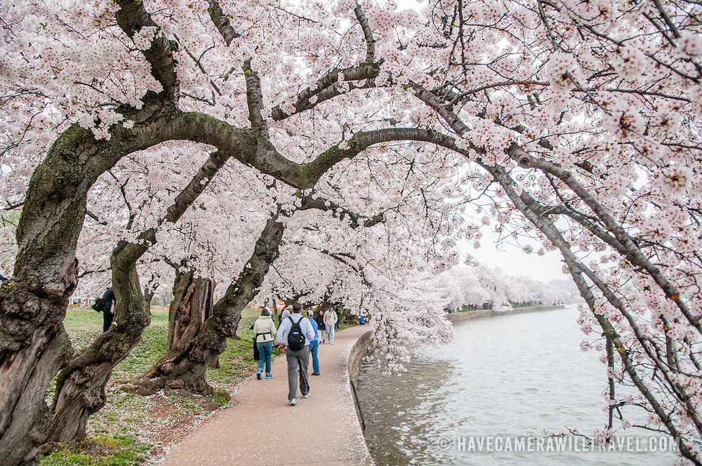 Some of the oldest cherry blossoms trees overhang the walkway around the endge of the Tidal Basin. Each spring, the blooming of the nearly 1700 Japanese cherry blossom trees around the Tidal Basin (and about 2000 others nearby) is a major tourist draw for Washington DC.