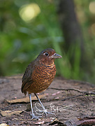 A Giant antpitta walks the forest floor in the Mindo-Nambillo cloud forest.