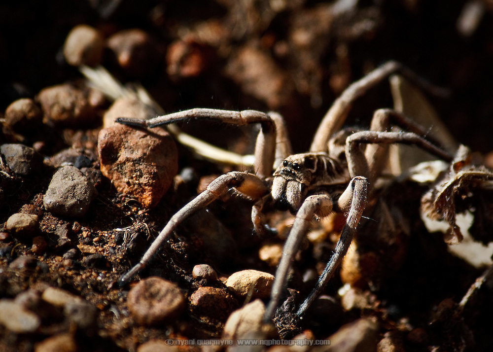 A Wolf Spider (Lycosa sp) in a paddock in Gidgegannup, Western Australia.