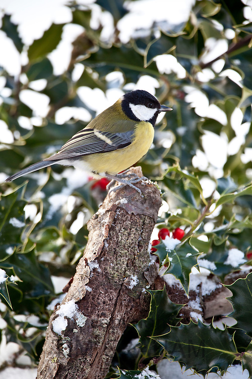 Great Tit in holly bush, The Cotswolds, UK