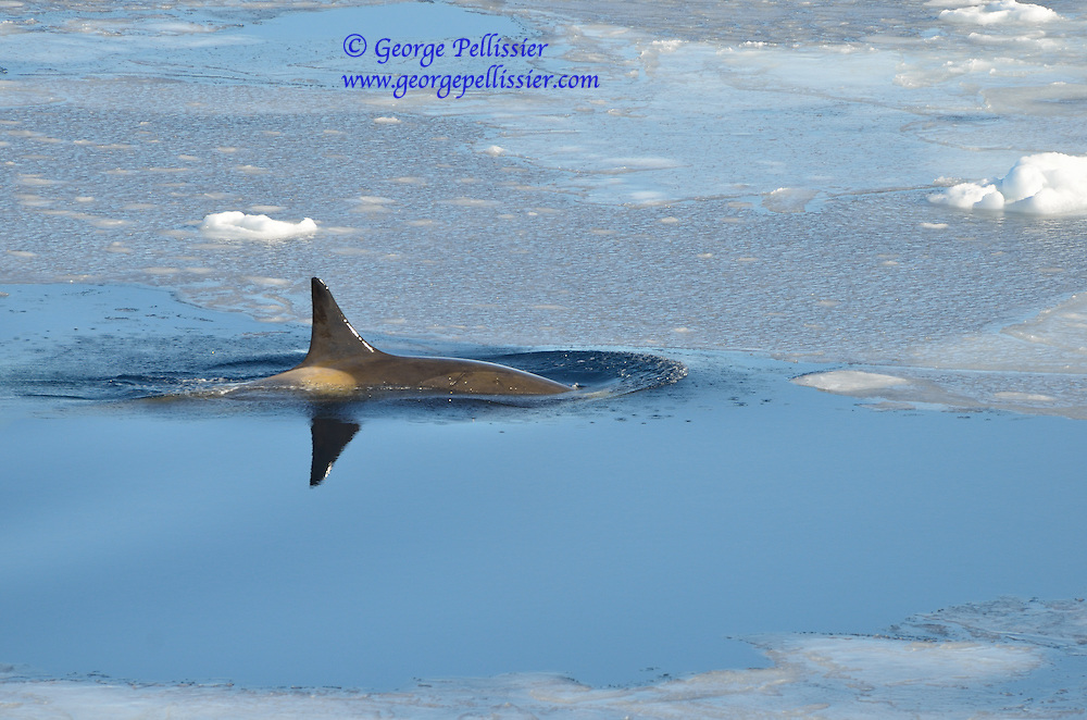 A female Orca's (Orcinus orca) fin is reflected as she swims in McMurdo Sound, Antarctica.